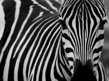 Moja zebra wariatka - Co to za zwierzak w paski ubrany?