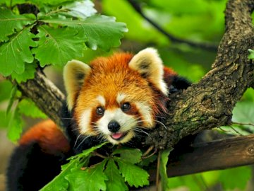 Red Panda - This Is A Fluffy Creature With A Bushy Tail Is Native To The Asian Forest.