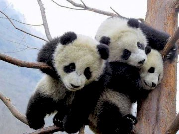 Baby Pandas - Panda Are The  World's Most Adorable Animal.