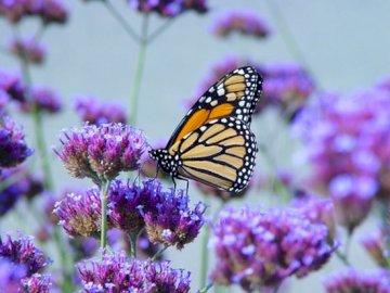 fluture verbena - educație la distanță