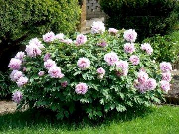 Piwonia różowa - Piwonia różowa rośnie kępami i jest bardzo ładna.