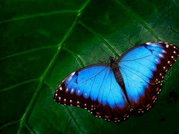 Fluture albastru - Fluture albastru, poți zbura :)