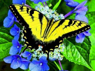 Fluture galben - Fluturele galben este o viață aeriană nouă și frumoasă.