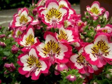 Kwiat Motylek - Motylek to roślina jedno roczna, jej nazwa pochodzi od tego, że gdy roślinie pojawiają się pier