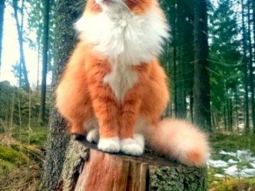 Pisica frumoasa - O pisică roșie superbă