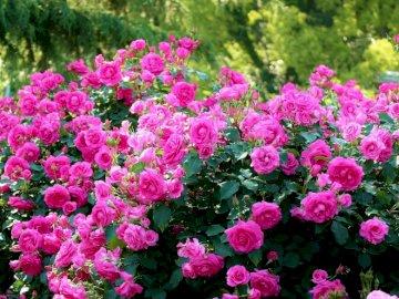 """Belas rosas - Se você organizar esses quebra-cabeças, encontrará """"lindas rosas"""""""