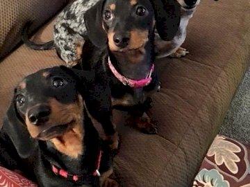 3 dachshund - 3 frumoase dachshunds arată în aceeași direcție