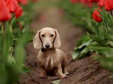 Tulip Dachshund - Un dachshund frumos într-un câmp de lalele