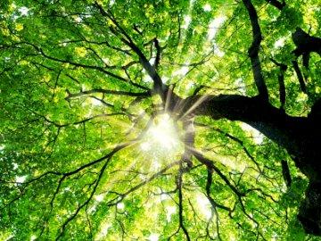 Zielone Drzewo - Puzzle przedstawiają pięknie oświetlone drzewo