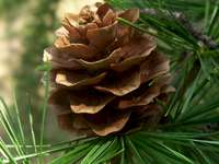 Flowery cone