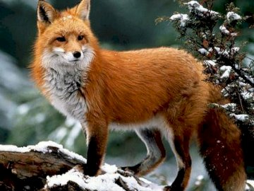 RED FOX - Beautiful red fox visible on a snowy background seen from the side.