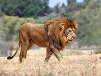 LION AFRICAIN - Lion d'Afrique (mâle) visible sur le paysage forestier. Il avance et en même temps sa belle c