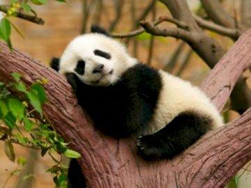 pandusia Olivia - Oliwia panda for EU classes