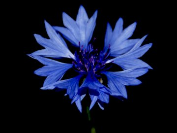 Feldblume, blaue Kornblume - Feldblume, blaue Kornblume, Wiese, Felder