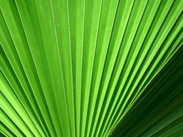 Palm leaf - Palm leaf like a green fan.