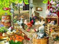 Ovos direto da galinha