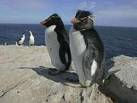 Pingüino de roca