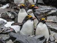 Pingüino de cresta dorada