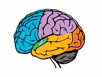 ADIVINAMOS - Descubre uno de los órganos que conforman el sistema nervioso central.