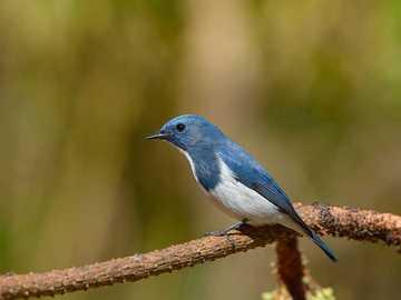 Blauer Fliegenfänger - Vorkommen und Umwelt. Diese Art kommt in Asien (Himalaya und südlich des Himalaya) vor.