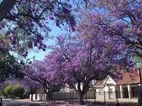 Ανθίζοντας δέντρα jacaranda