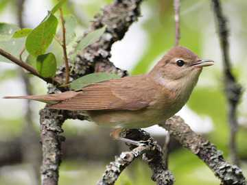 Gajówka (Sylvia borin) - Lifestyle and behavior. It is a migratory bird. He leads a secretive lifestyle in the treetops.