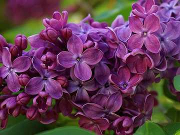 sin lila - ramita de lila violeta hermosa