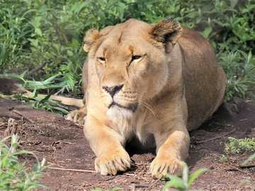 Queen of animals - beautiful and dignified lioness while resting