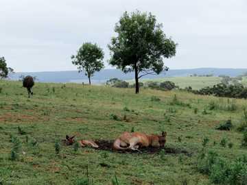 Kangury na odludziu - brązowy kangur na polu trawy.