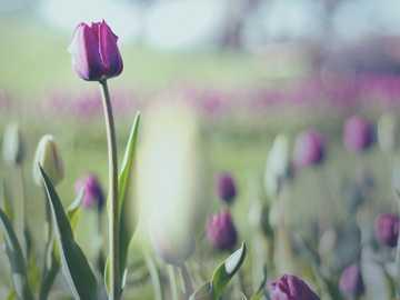 flor rosa en lente de cambio de inclinación - Tulipanes morados filmados en lentes vintage y manuales durante el Tulip Time Festival en Holanda, M