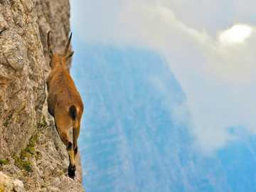 brązowy i biały jeleń na szarej skale w ciągu dnia - Η φωτογραφία απεικονίζει μια νεαρή γυναίκα αγριοκάτσι