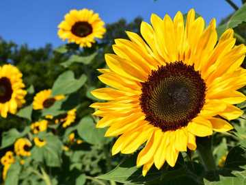 Sunflowers - Make a picture with sunflowers