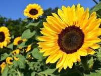 Slunečnice - Vytvořte obrázek se slunečnicemi