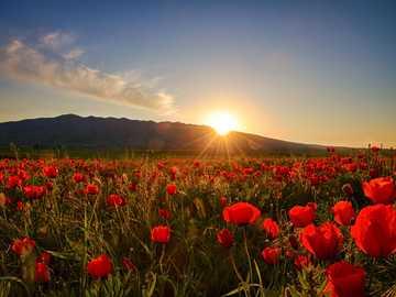 Prairie de pavot - Coquelicots, prairie, fleurs, soleil.