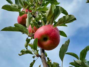 Apple picking - red apple on tree branch during daytime. Behling Orchards, Potter Road, Mexico, NY, USA