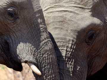 Elehants - two gray elephants during daytime. Pilanesberg National Park, South Africa