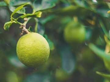lime tree - green lemon fruits. Sydney NSW, Australia