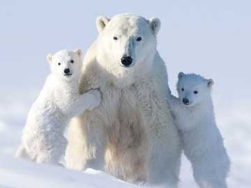A polar bear family - Polar bear, snow, animals.