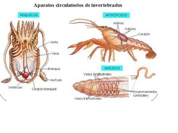 NATURAL SCIENCES 7 - DISCOVER THE CIRCULATION PROCESS IN INVERTEBRATES
