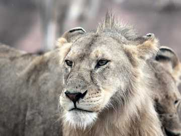 gray and brown lion face - Upon entering the Serengeti, we spotted a pride of young lions, including several males. When it beg