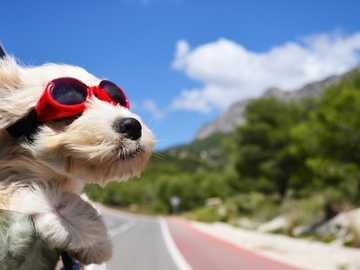 słodkie życie - Pies, okulary, zwierzęta, samochód, jazda samochodem.