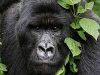 подозрителна горила