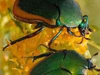 хубави бръмбари