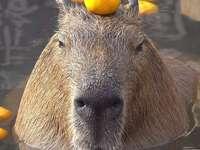 капибара с портокал
