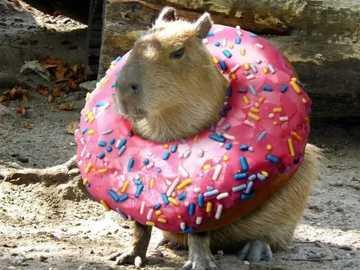Mała kapibara w donucie - Mała kapibara w donucie z kolorową posypką