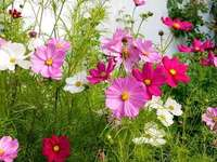 Färgglada blommor, kosmos - Färgglada blommor i trädgården, kosmos.