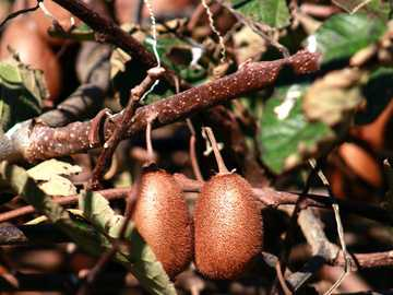 brown fruit on brown tree branch - Kiwi seasonal fruits rich in vitamin C. Cambará do Sul, RS, Brasil