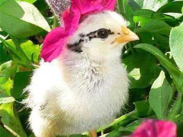 пиленце с цветна шапка