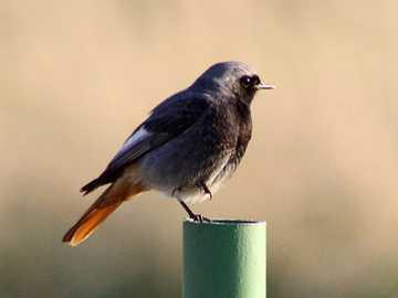 Aschenputtel - Lebensstil und Verhalten Ist ein Zugvogel. Sie fliegt im März und April nach Polen, im September un