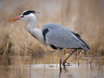 Gray heron. - Match the elements, a photo of heron will be created.